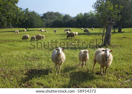 Flock of sheep standing - stock photo