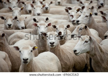 Flock of sheep with central sheep looking at camera - stock photo
