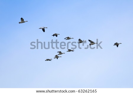 Flock of snow geese (Chen caerulescens) flying in a formation - stock photo