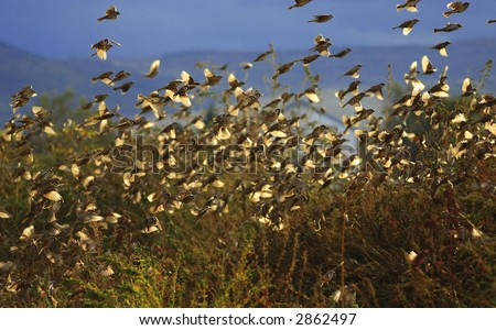 Flock of Sparrows takeoff