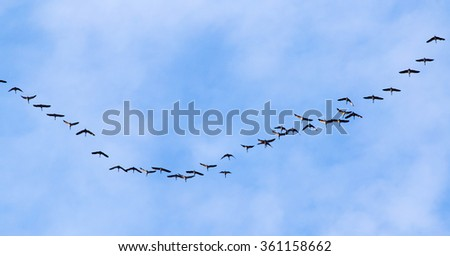 flock of swans flying against a blue sky in the south - stock photo