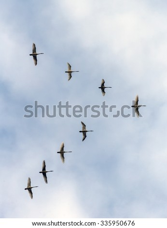 Flock of swans on a background of the blue sky flight in the Delta of the Volga River, Russia