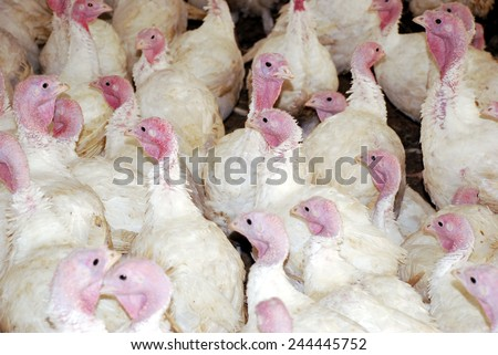 Flock of Turkeys in the farm ranch - stock photo