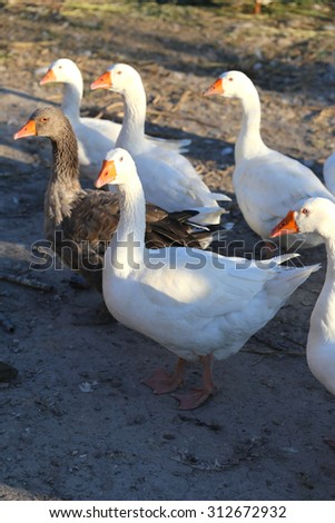 Flock of white domestic geese on the farm. Group of geese on the poultry yard - stock photo
