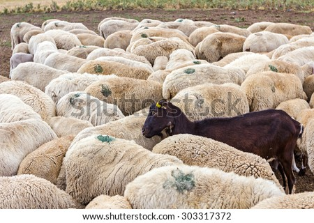 Flock sheep has one black goat as a part of their family. - stock photo