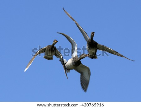 Flock with Gadwall flying in the sky