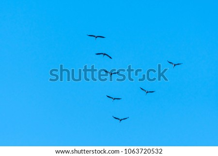 Flock with migrating Common Cranes in V formation by a blue sky