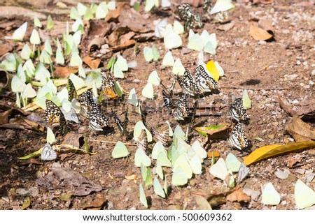 Flocks of butterflies on the ground. Butterflies flock to the nutrients in the soil.