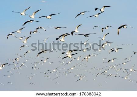 Flocks of Seagull under blue sky - stock photo