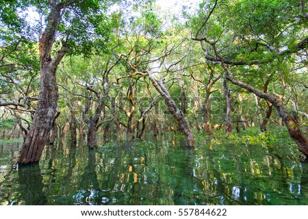 Flooded mangrove forest in Kampong Phluk floating village within Tonle Sap, freshwater lake in Cambodia