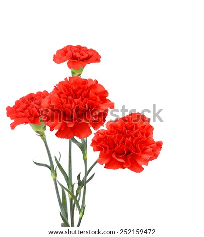 Flora branch:  a finest red carnations bouquet - stock photo