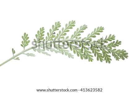 Flora of Gran Canaria - leaves of Tanacetum ptarmiciflorum, popular ornamental plant, in danger of extinction in the wild - stock photo