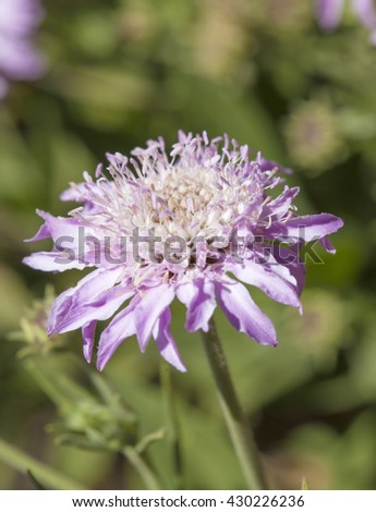 Flora of Gran Canaria, Pterocephalus dumetorum, Mountain scabious flowers