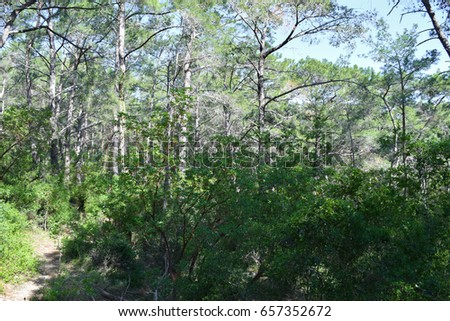 Flora of Turkey. Kemer region nature. Calis Tepe (mountain) trail. Endemic pine forest of Asia Minor