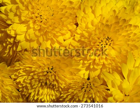 Floral background - bouquet of yellow chrysanthemums close-up  - stock photo