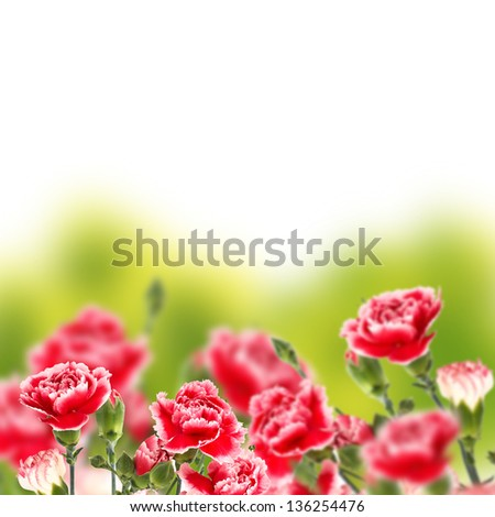 Floral background from fresh carnations on green background - stock photo