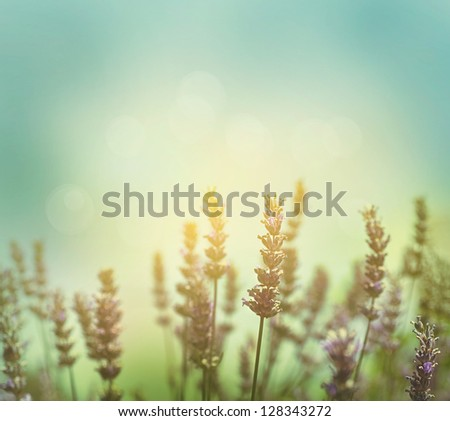 Floral background. Lavender flowers in nature with sunlight beams. Spring or summer Bokeh background - stock photo