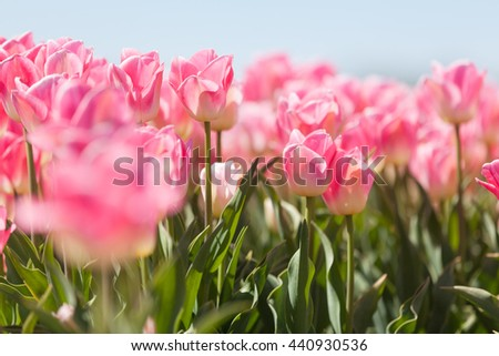 Floral background. Tulips with blue sky. Spring landscape. Tulips from the ground. Low point of view