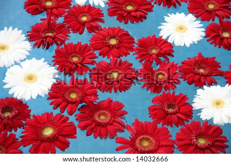 Floral background - White and red gerberas floating on the water