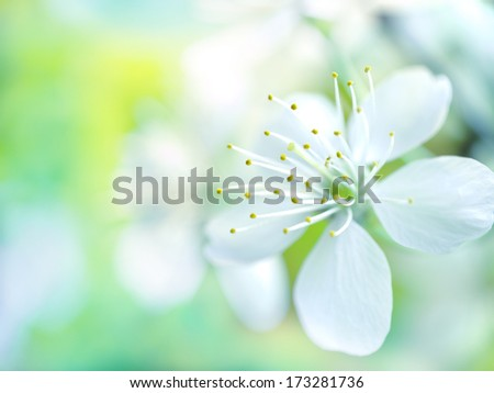 Floral background: white cherry flowers on blurred background. - stock photo
