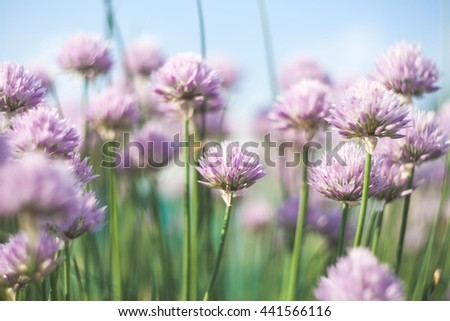 Floral background with violet flowers of decorative onion.
