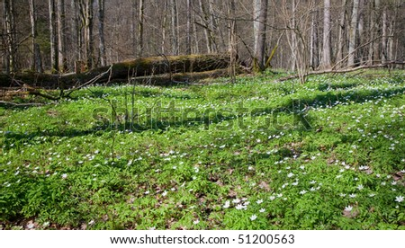Floral bed of springtime anemone flowers - stock photo