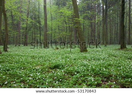 Floral bed of springtime anemone flowers in misty early morning - stock photo