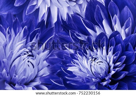 Floral  blue-white beautiful background.  Flowers blue  dahlias.Flower composition.  Close-up. Nature.