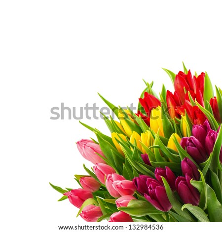 floral border of fresh multicolor tulip flowers isolated on white background - stock photo