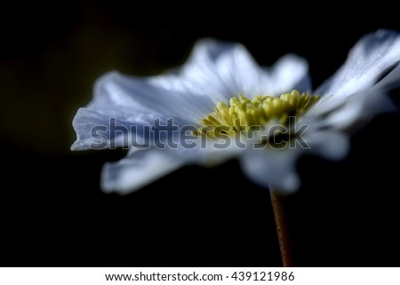 Floral natural background with beautiful wild flower with white petals and yellow mid closeup on the black background - stock photo