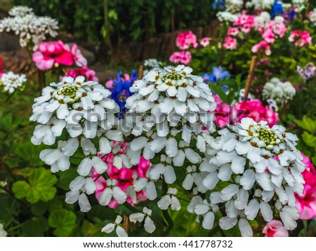 Floral wallpaper. Multicolored phlox in the garden. - stock photo