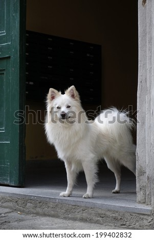Florentine spitz (Volpino italiano) dog on the threshold of the front door. - stock photo