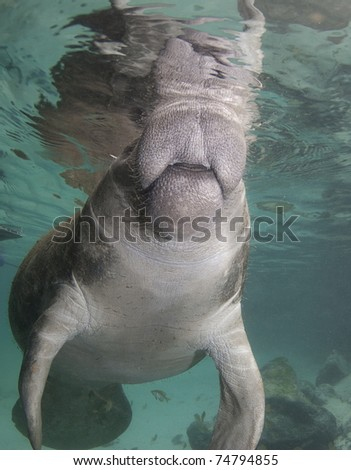 Florida manatee breaths at the surface of the water. - stock photo
