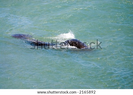 Florida Manatee (Sea Cow) swimming at surface of water