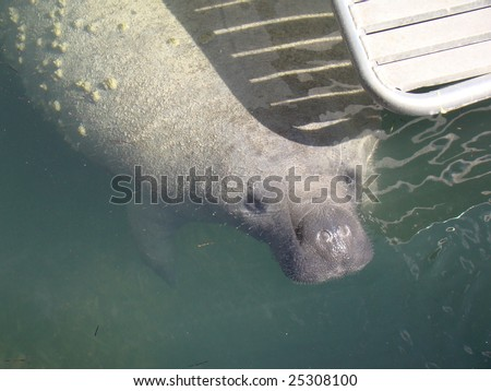Florida Manatee Under Boat Dive Platform - stock photo
