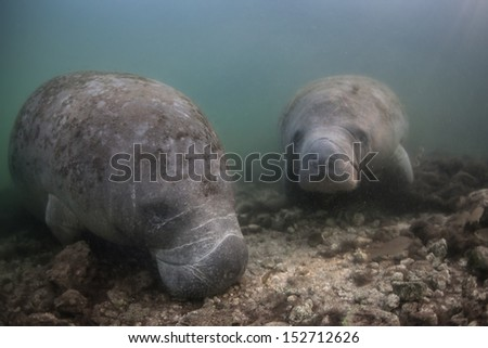 Florida manatees (Trichechus manatus latirostris) are endangered and are under threat by a number of natural and man-induced activities. Manatees are fully aquatic and can live many decades. - stock photo