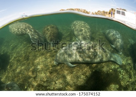 Florida manatees (Trichechus manatus latirostris) sleep on the shallow bottom of a freshwater spring in Florida. This animal is endangered and is of great conservation concern to the government. - stock photo