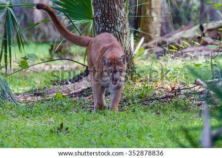 Florida panther, finished eating, walks toward camera
