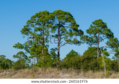 Florida Pine trees with a gorgeous Florida blue sky behind it and ocean dunes setting the front.  - stock photo