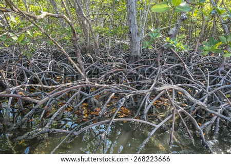 Florida Red Mangrove Forest - stock photo