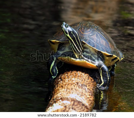 Florida Redbelly Turtle - Pseudemys Nelsoni - stock photo