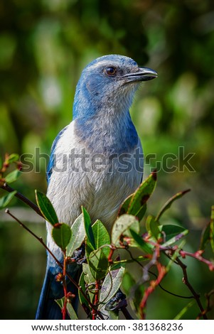 Florida Scrub-Jay perched on green leaves with green blurred background.   - stock photo