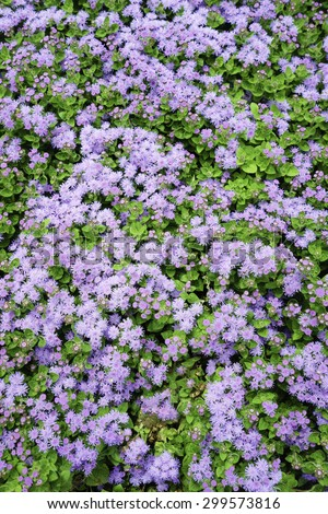 Flossflower (binomial name: Ageratum houstonianum 'Artist Blue'), also known as pussy foot, blueweed, bluemink, and Mexican paintbrush, in abundance in a summer garden - stock photo