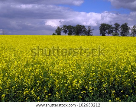 flourishing field of yellow rape as a background - stock photo