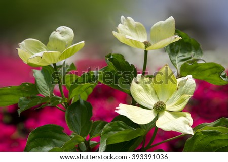 flourishing kousa dogwood bush with azalea background defocused - stock photo