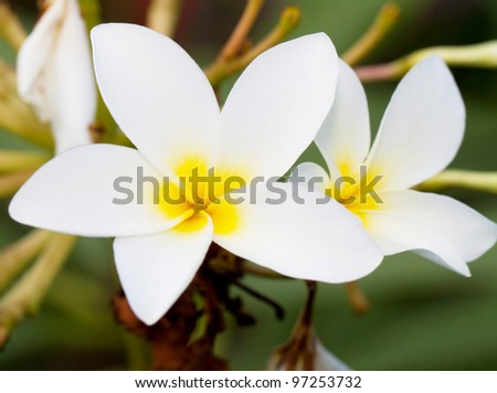 Flower also known as Plumeria or Temple Tree