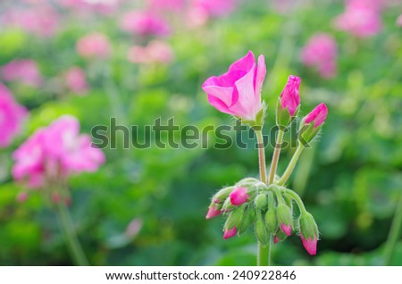 flower and buds of the geranium in the garden  - stock photo