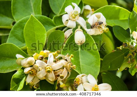 flower and pamela fruit on the tree. - stock photo