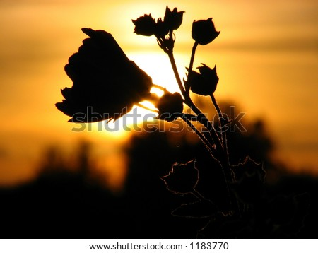 Flower and sunset - stock photo