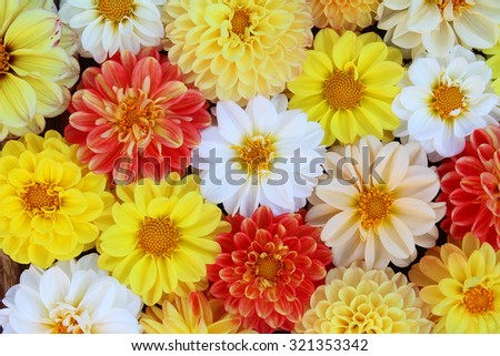 Flower background. Bouquet from white, red, yellow dahlias - stock photo